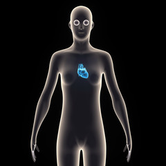 human body heart