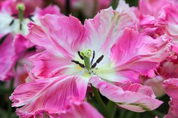 Fototapete - Pink Tulips. Keukenhof Garden, Netherlands