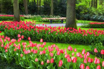 Fototapete - Red Tulips in Spring Garden Keukenhof