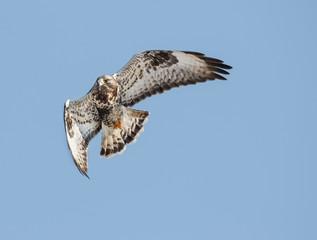 Rough-legged buzzard (Buteo lagopus) flying in the sky.