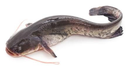 Wild catfish.