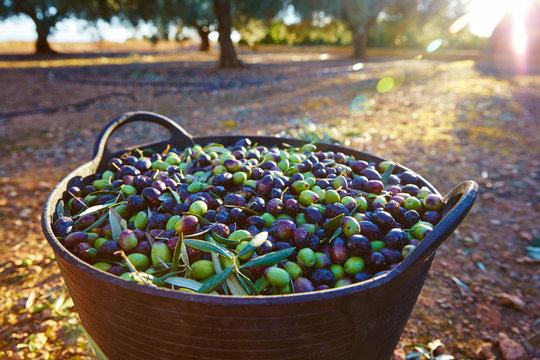 Olives harvest picking in farmer basket