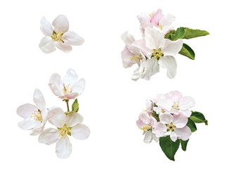 The apple-tree flowers isolated on a white background