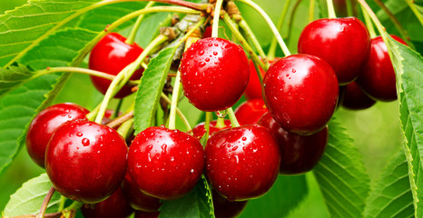 Sweet cherry red berries on a tree branch close up.