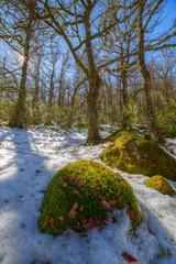 Musgo y nieve en el bosque invernal, Ancares, Galicia