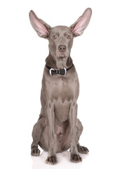weimaraner dog with ears up