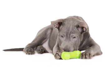 thai ridgeback puppy playing with a toy