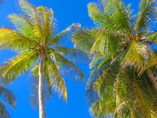 Coconut palm trees in the blue sky in summer. Tropical island of Guadeloupe, Antilles, Caribbean.