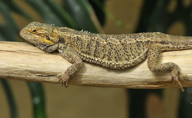 Chilled out lizard