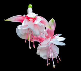 Two Fuchsia flowers isolated on black background