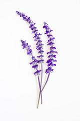 lavender flower on white background