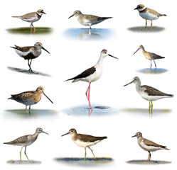 Set of shorebirds on white background