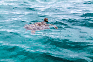 Sea Turtle Amedee Island, New Caledonia