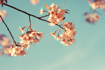 Wall Mural - Vintage cherry blossom - sakura flower. nature background  (retro filter effect color)