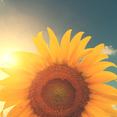Vintage photo of sunflower with sunlight - retro filter effect