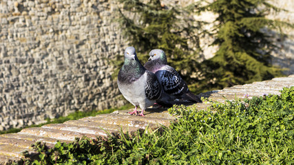Pigeons on the wall