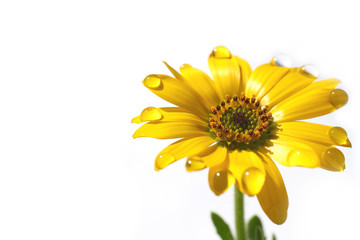 yellow African daisy and the drops in the white #2