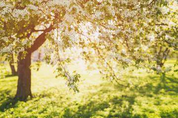 defocused bokeh background of apple garden with blossoming trees  in sunny day, vintage toned
