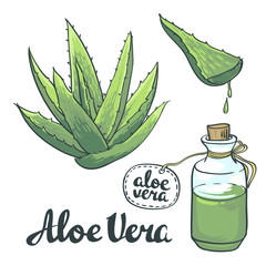 Natural Vector Aloe vera illustration isolated objects
