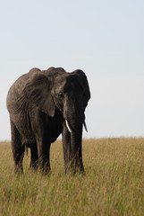 Elephant in the Masai Mara reserve in Kenya