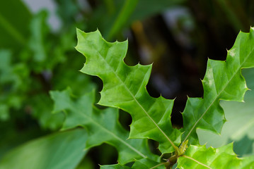 Sea holly leaves (Acanthus ebracteatus)