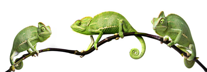 chameleons research paper