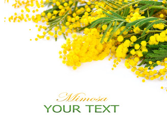 Fotoväggar - Mimosa spring flowers border isolated on a white background