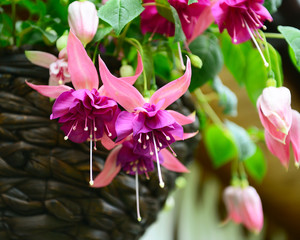 fuchsia flowers in a basket