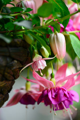 fuchsia flowers in a basket