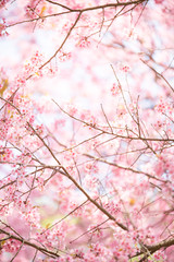 abstract sakura blossom, Soft focus,Background with pink color f