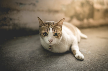 Cat lying with easy pose. vintage tone process, soft focus