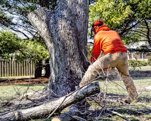Professional landscaper using chainsaws to cut away at large limbs and branches of tree in preparation of removal