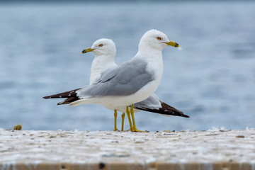 Two ring-billed gulls, Larus delawarensis, stand in opposing directions on a feces-covered dock.