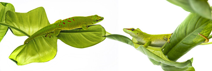 Fototapete - Phelsuma madagascariensis - gecko isolated on white