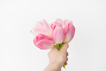 fresh spring pink tulips in hand  on white background