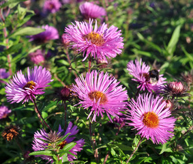 Beautiful violet aster flowers
