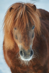 Wall Mural - Portrait of a red chestnut shetland pony