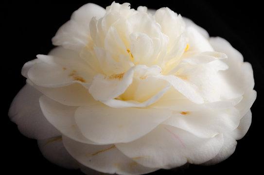 White camellia on black backdrop.