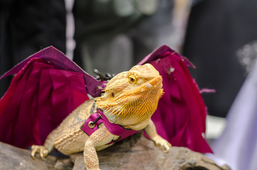 dressed up bearded dragon in pet variety thailand open show