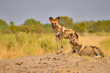 Botswana Painted Dogs