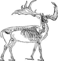 Vintage drawing skeleton deer
