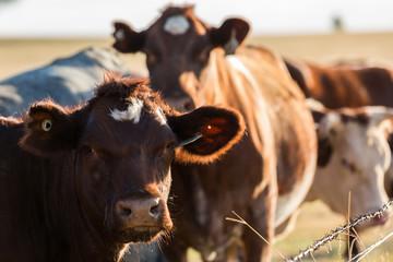 Cattle in field Wall mural