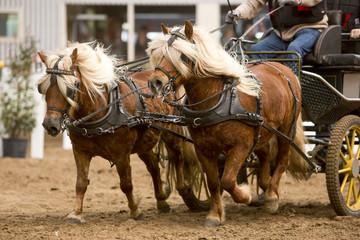 Tweespan pony aan het racen.