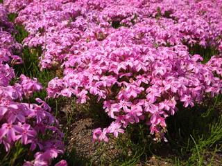 羊山公園の芝桜/秩父