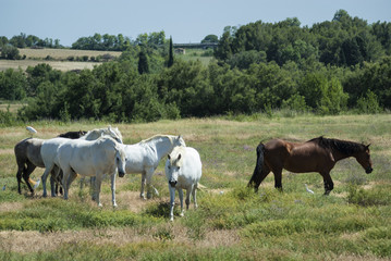 Horses at pasture in Languedoc-Roussillon