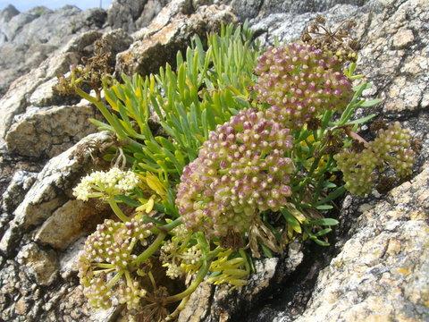 plante qui pousse dans les rochers sur côte sauvage, on l'appelle crithmum maritimum non commun: la criste marine ou fenouil marin ou perce pierre, plante vivace famille des Apiacées (ombellifère).
