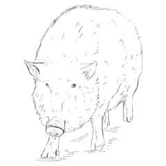 Vector Sketch Wild Boar