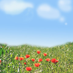 poppy field and blue sky background