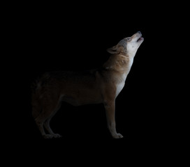 gray wolf howling in dark background