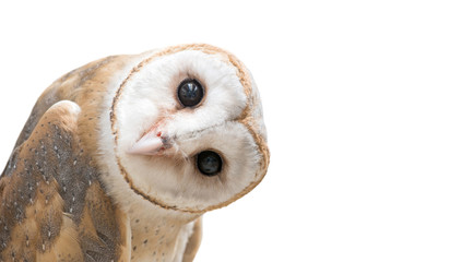 Poster Uil common barn owl ( Tyto albahead ) isolated